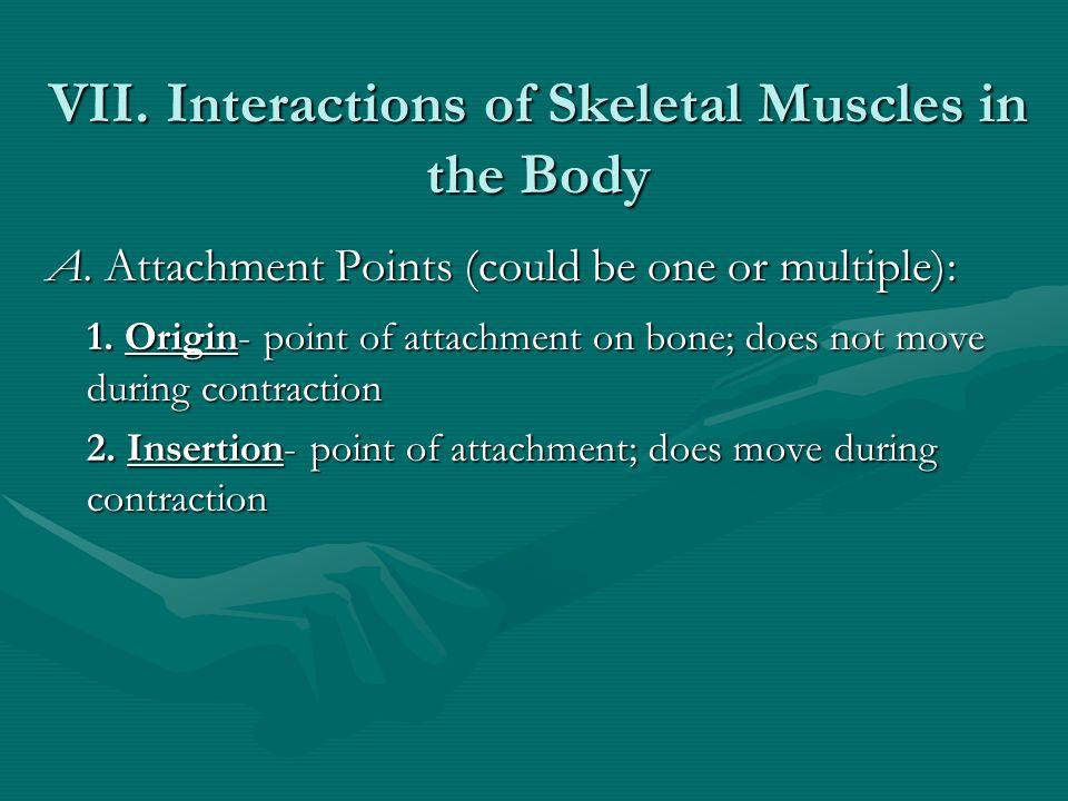Skeletal Muscles: Muscular Machines