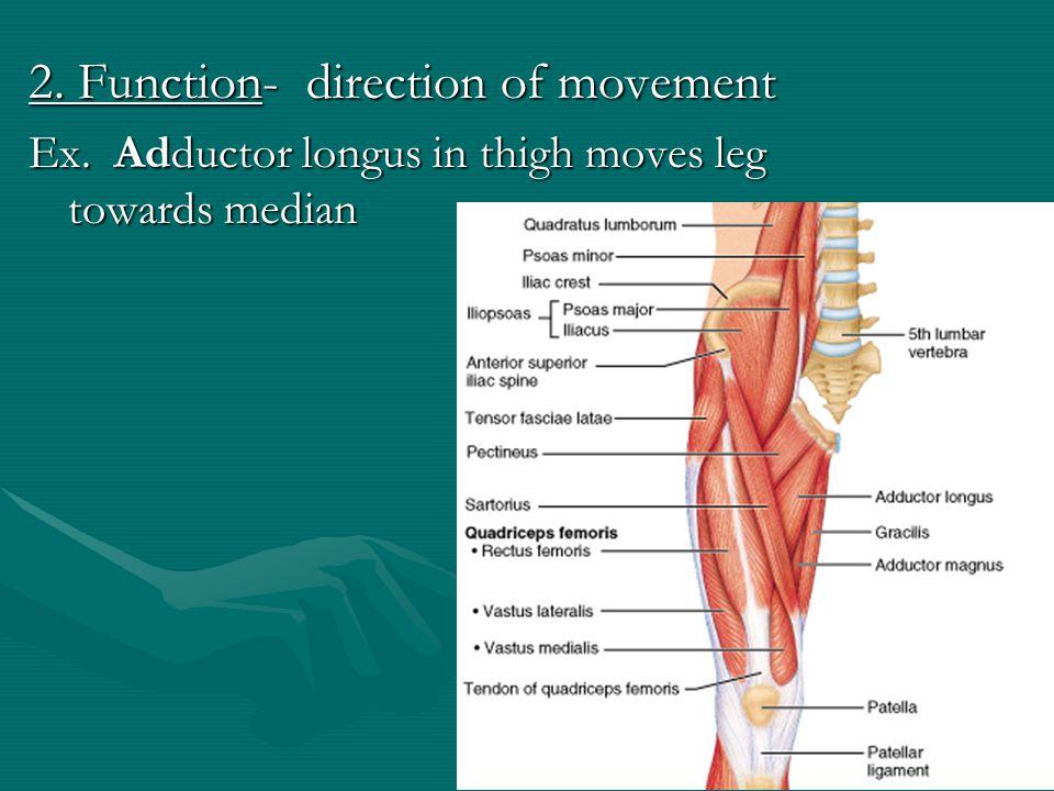 1. Location: –pectoralis (chest) –gluteus (buttock or rump) –brachii (arm) –supra- (above) –infra- (below) –sub- (under or beneath) –lateralis (latera
