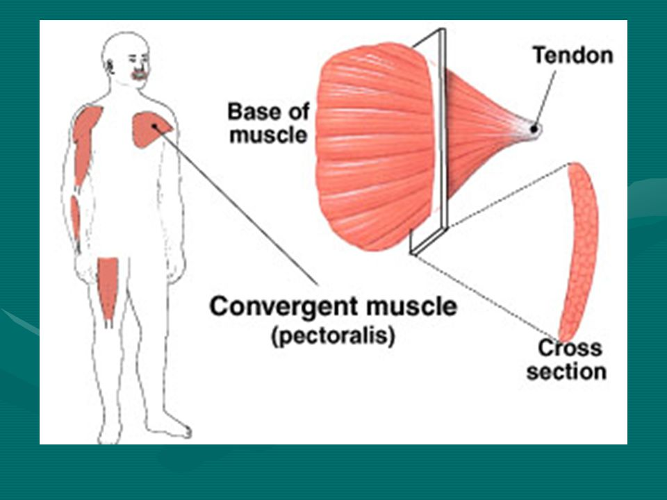 Circular Muscles In a circular muscle, or sphincter, the fibers are concentrically arranged around an opening or a recess. When the muscle contracts,