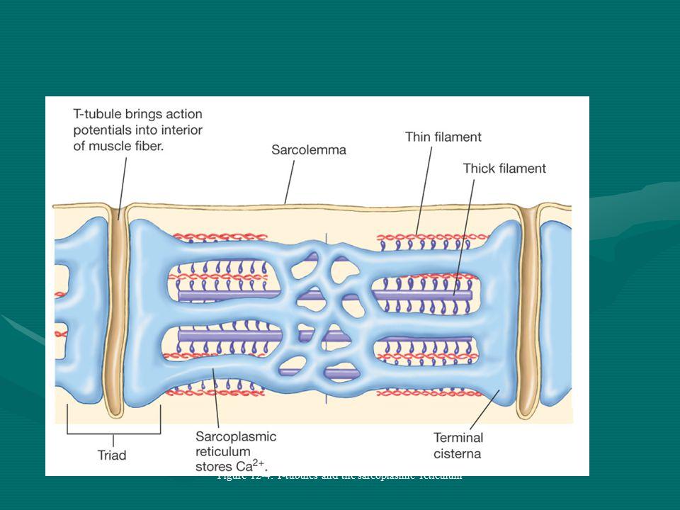 Skeletal Muscle Anatomy Figure 12-3a-2: ANATOMY SUMMARY: Skeletal Muscle
