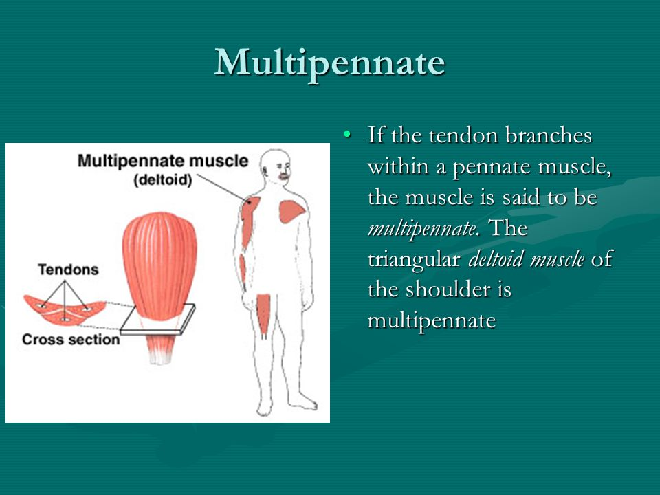 Bipennate Muscle More commonly, a pennate muscle has fibers on both sides of the tendon. Such a muscle is called bipennate. The rectusMore commonly, a