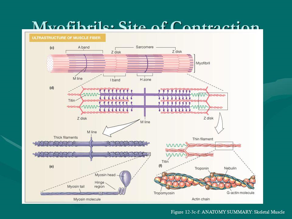 Figure 12-4: T-tubules and the sarcoplasmic reticulum