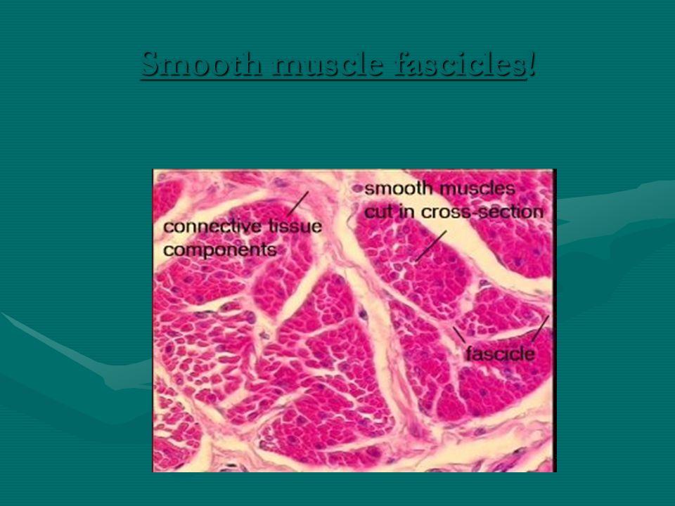 Myofibrils: Site of Contraction Figure 12-3c-f: ANATOMY SUMMARY: Skeletal Muscle