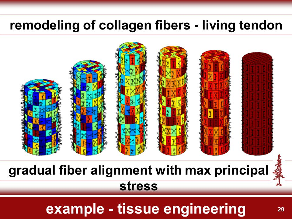 29 example - tissue engineering remodeling of collagen fibers - living tendon gradual fiber alignment with max principal stress