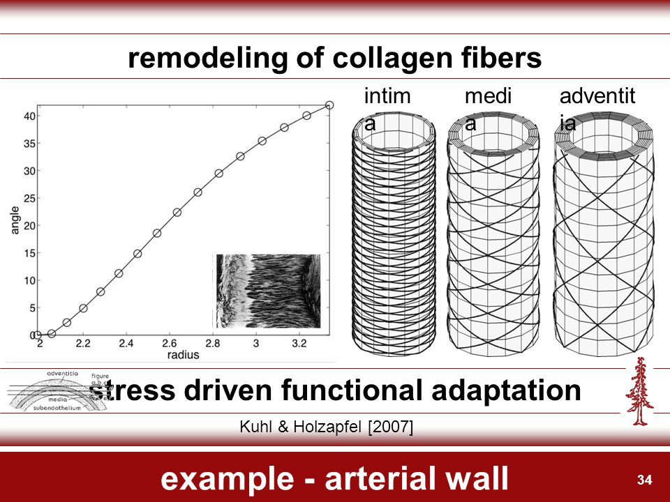 34 example - arterial wall remodeling of collagen fibers stress driven functional adaptation Kuhl & Holzapfel [2007] intim a medi a adventit ia