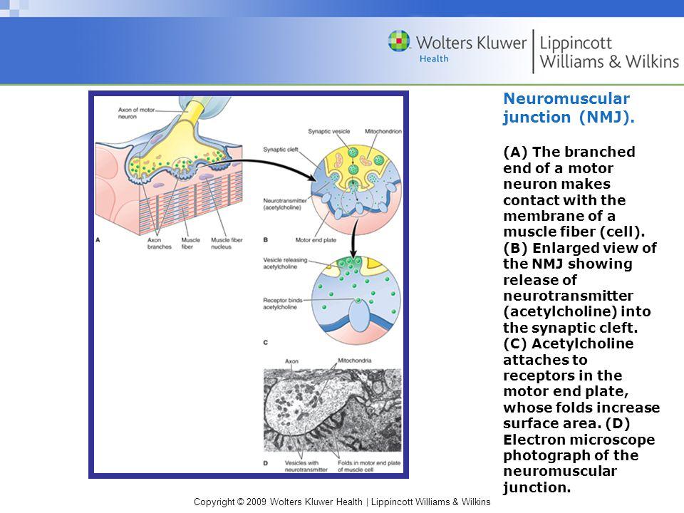 Copyright © 2009 Wolters Kluwer Health | Lippincott Williams & Wilkins Neuromuscular junction (NMJ).