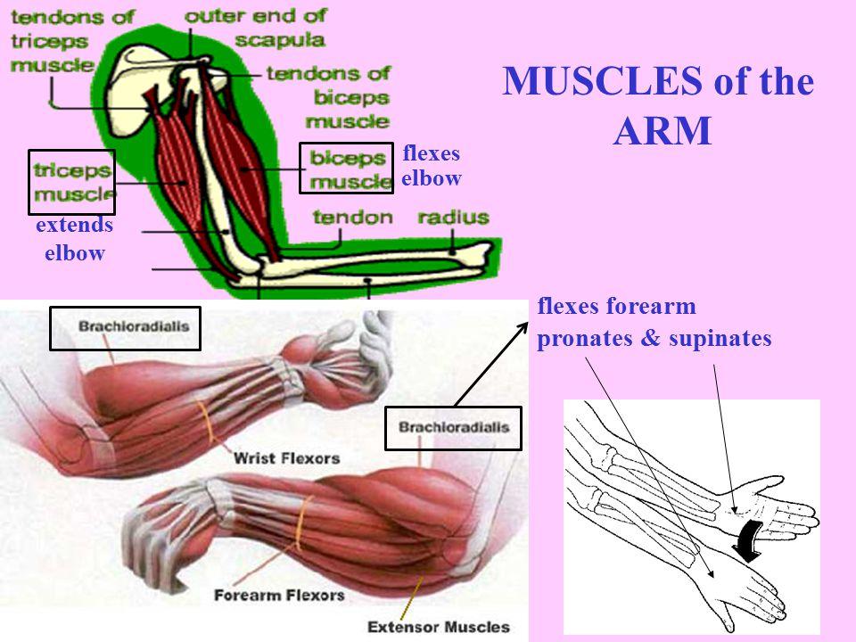 flexes thigh + lower leg (middle quadricep) (lateral quadricep) (medial quadricep) Vastus intermedius (inner quadricep) plantar-flexes ankles dorsi-flexes ankles plantar-flexes ankles Quadriceps extend the leg