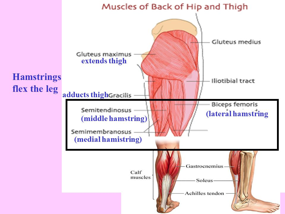 extends thigh (lateral hamstring (middle hamstring) Hamstrings flex the leg adducts thigh (medial hamistring)