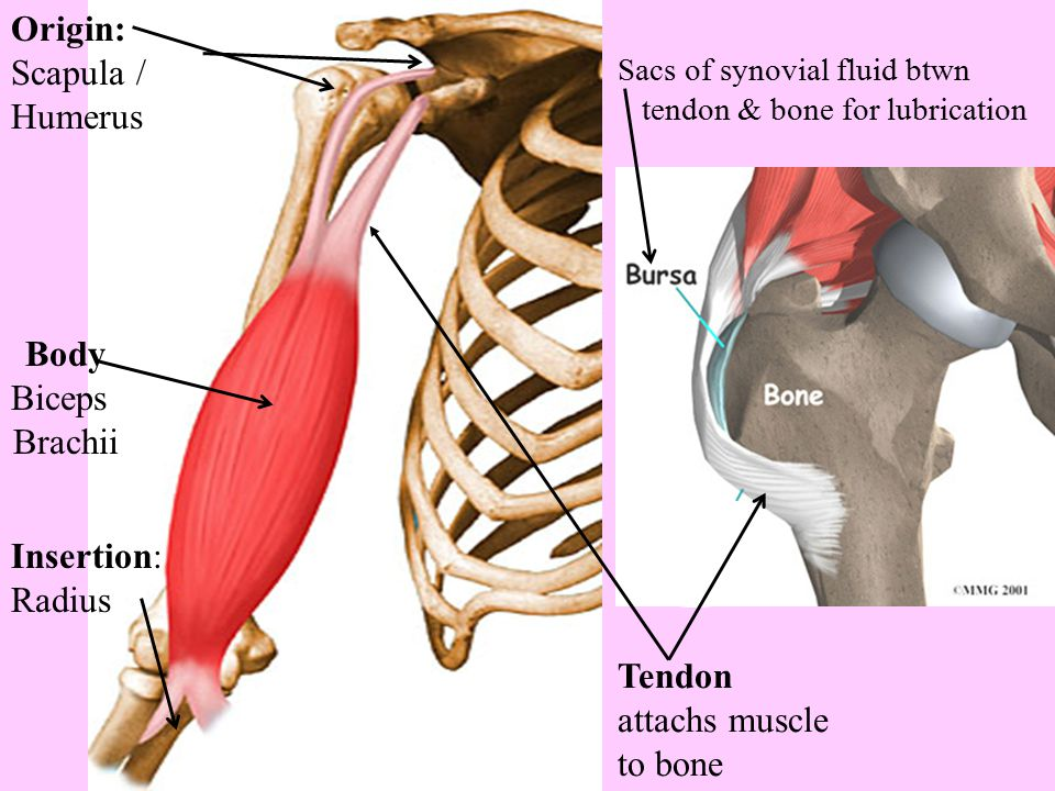 Concept Check #1 1.What are muscles composed of that allow them to do their jobs.