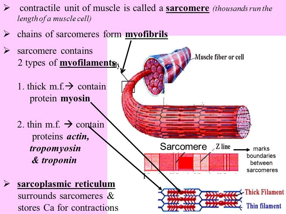  contractile unit of muscle is called a sarcomere (thousands run the length of a muscle cell)  chains of sarcomeres form myofibrils  sarcomere cont