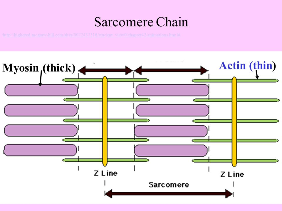 Myosin (thick) Actin (thin) Sarcomere Chain http://highered.mcgraw-hill.com/sites/0072437316/student_view0/chapter42/animations.html#