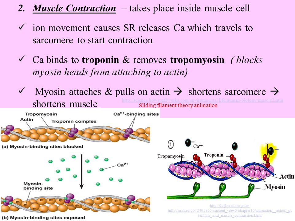 2.Muscle Contraction – takes place inside muscle cell ion movement causes SR releases Ca which travels to sarcomere to start contraction Ca binds to t