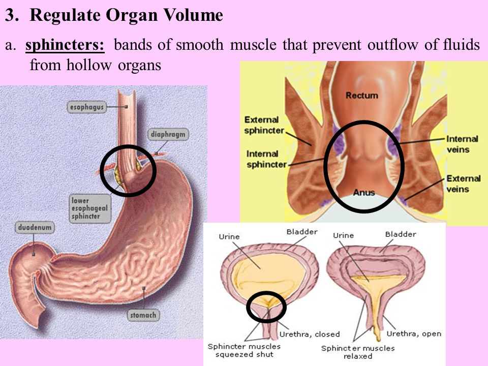 3.Regulate Organ Volume a. sphincters: bands of smooth muscle that prevent outflow of fluids from hollow organs