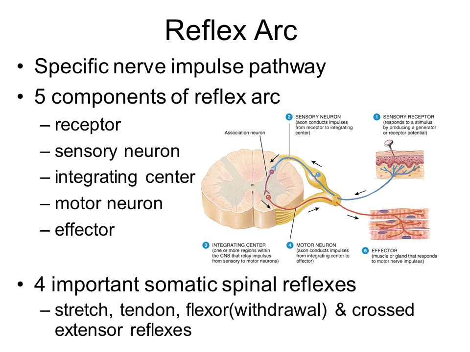 Reflex Arc Specific nerve impulse pathway 5 components of reflex arc –receptor –sensory neuron –integrating center –motor neuron –effector 4 important