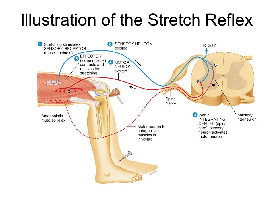 Tendon Reflex Controls muscle tension by causing muscle relaxation that prevents tendon damage Golgi tendon organs in tendon –activated by stretching of tendon –inhibitory neuron is stimulated (polysynaptic) –motor neuron is hyperpolarized and muscle relaxes Both tendon & muscle are protected Reciprocal innervation (polysynaptic) –causes contraction of ipsilateral muscle group