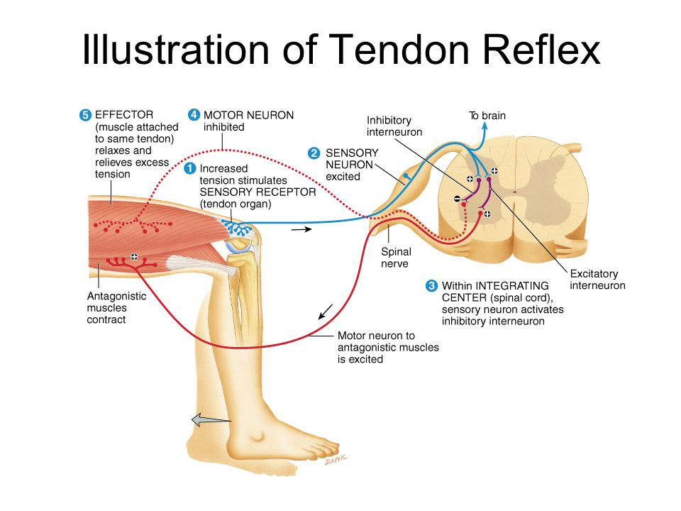 Flexor (withdrawal) Reflex Step on tack (pain fibers send signal to spinal cord Interneurons branch to different spinal cord segments Motor fibers in several segments are activated More than one muscle group activated to lift foot off of tack