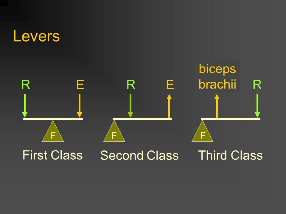 Levers First Class Second Class Third Class RRREEE F F F biceps brachii