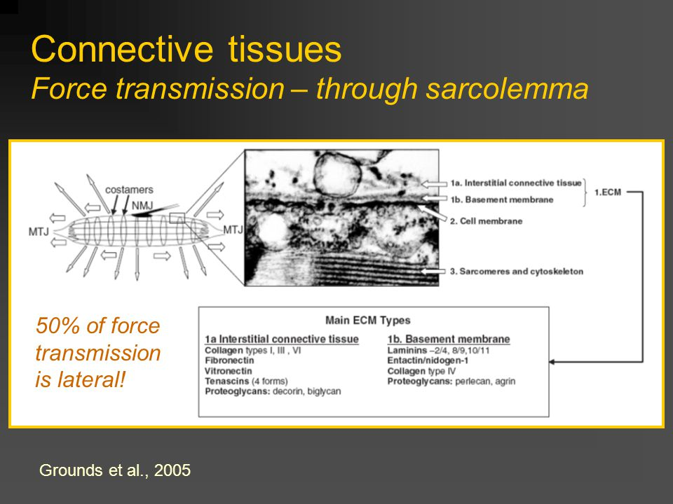 Connective tissues Force transmission – through sarcolemma Grounds et al., 2005 50% of force transmission is lateral!