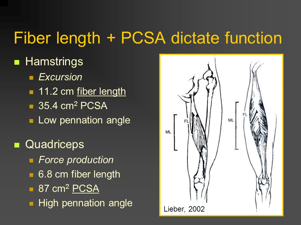 Connective tissues Force transmission – through perimysium Accommodate shear strains during contraction and extension Shear is greater at fascicle border than within fascicle Large fascicles and thick perimysium in muscles with high force Small fascicles and thin perimysium in muscles with large excursion