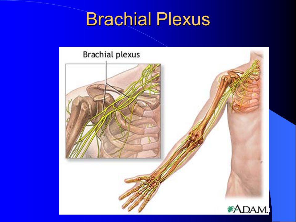 10 Brachial Plexus Shown here are the major components of the brachial plexus.. Note the relative position of the plexus relative to the axillary arte