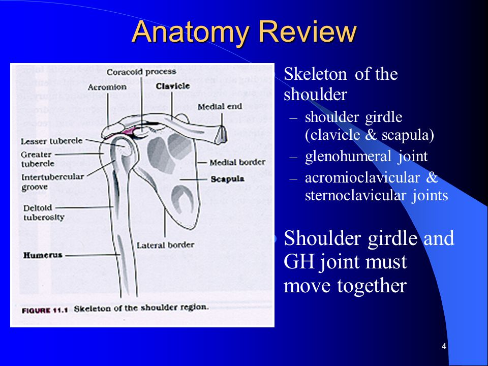 4 Anatomy Review Skeleton of the shoulder – shoulder girdle (clavicle & scapula) – glenohumeral joint – acromioclavicular & sternoclavicular joints Shoulder girdle and GH joint must move together