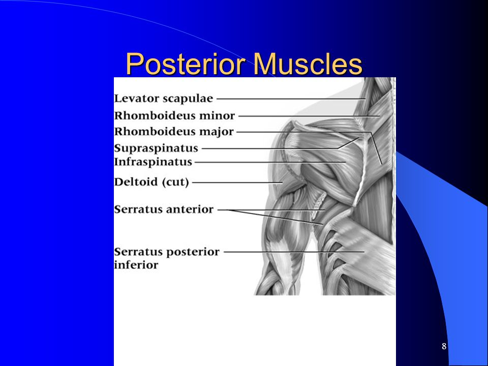 7 Muscles of the Shoulder