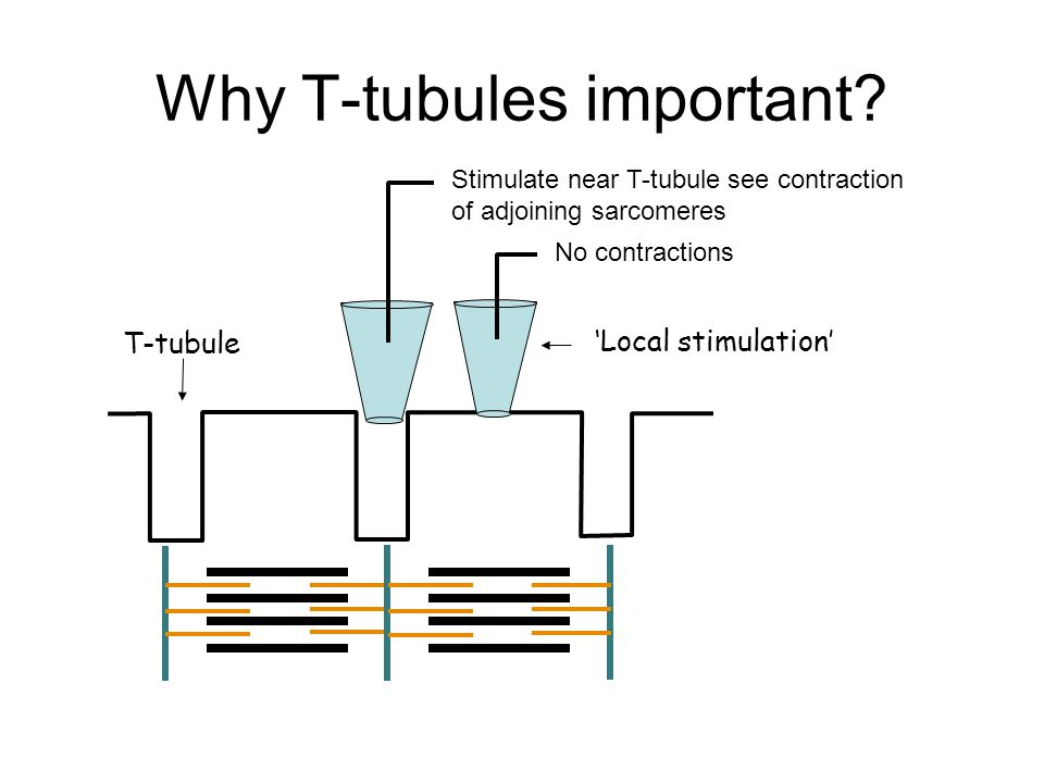 Why T-tubules important.
