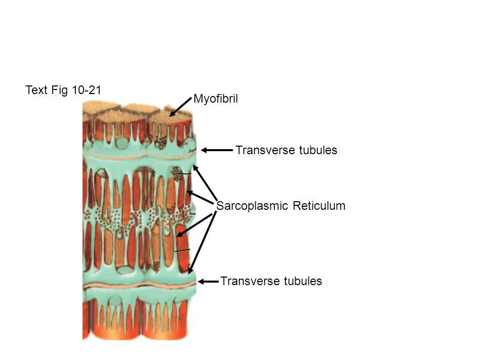 Text Fig 10-21 Myofibril Sarcoplasmic Reticulum Transverse tubules