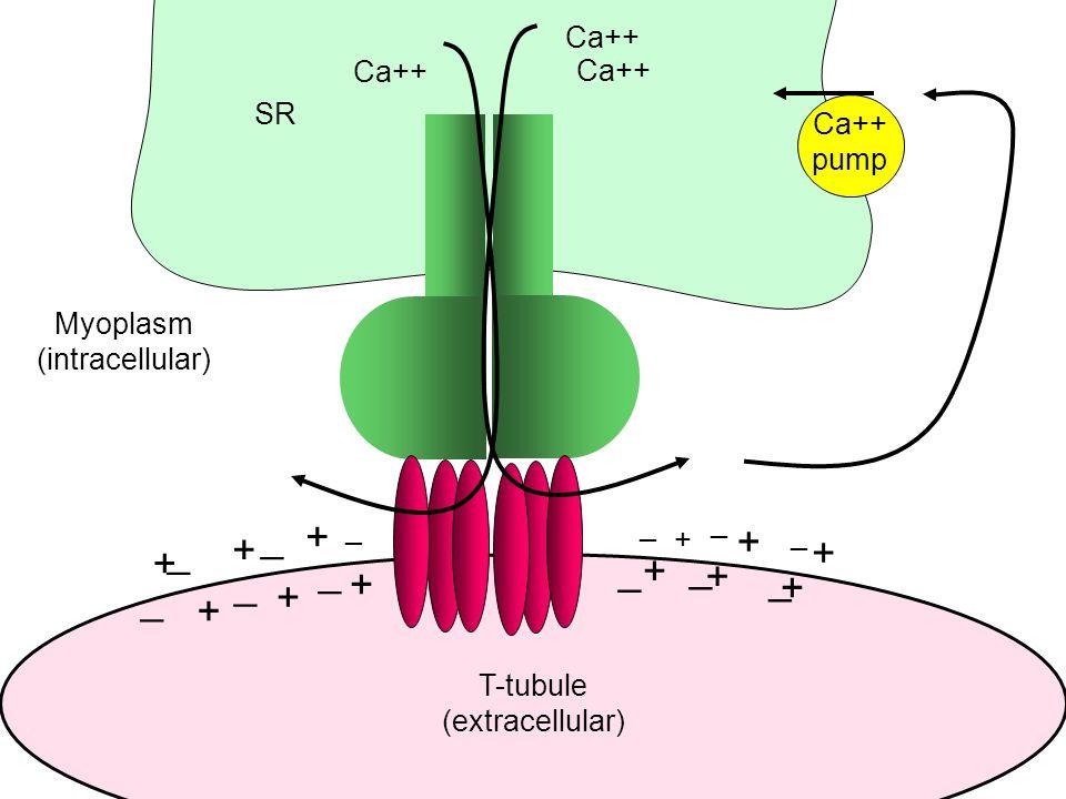T-tubule (extracellular) SR Myoplasm (intracellular) + + + + + + _ _ _ _ _ _ Ca++ _ _ _ + + + _ _ _ + + + Ca++ pump