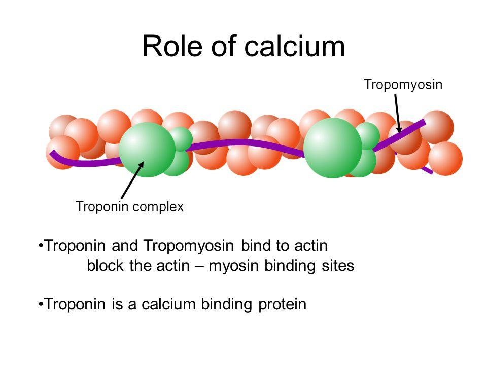 Role of calcium Troponin complex Tropomyosin Troponin and Tropomyosin bind to actin block the actin – myosin binding sites Troponin is a calcium binding protein