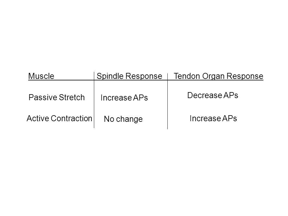 MuscleSpindle Response Tendon Organ Response Passive Stretch Increase APs Decrease APs Active Contraction No change Increase APs