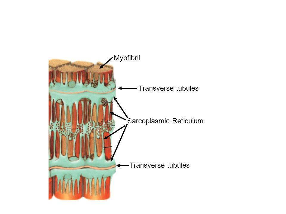 Myofibril Sarcoplasmic Reticulum Transverse tubules