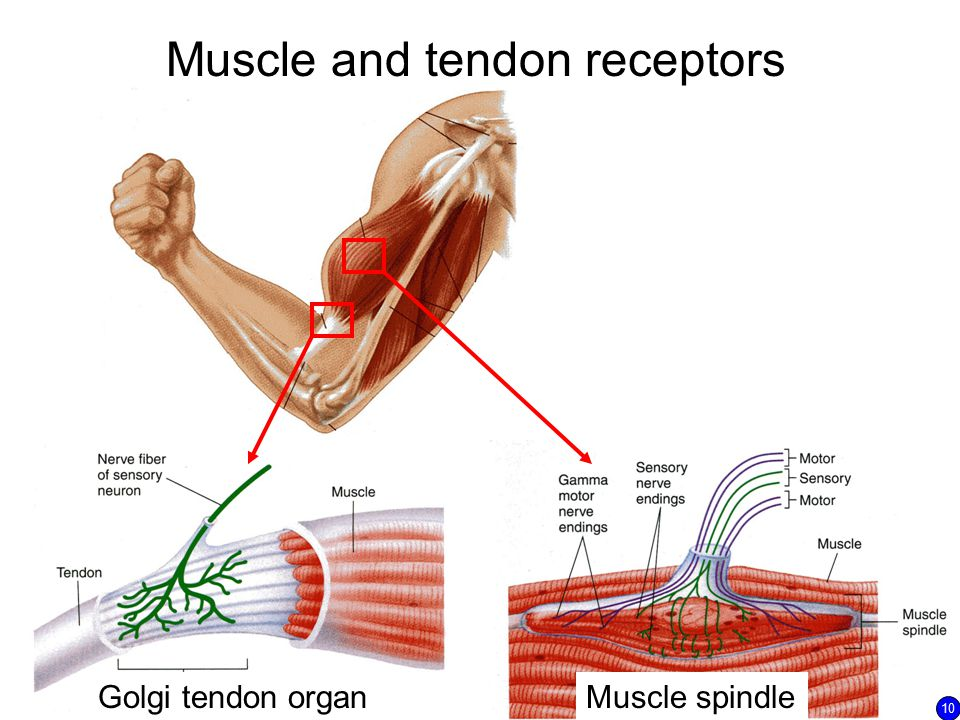 Muscle and tendon receptors Golgi tendon organMuscle spindle 10