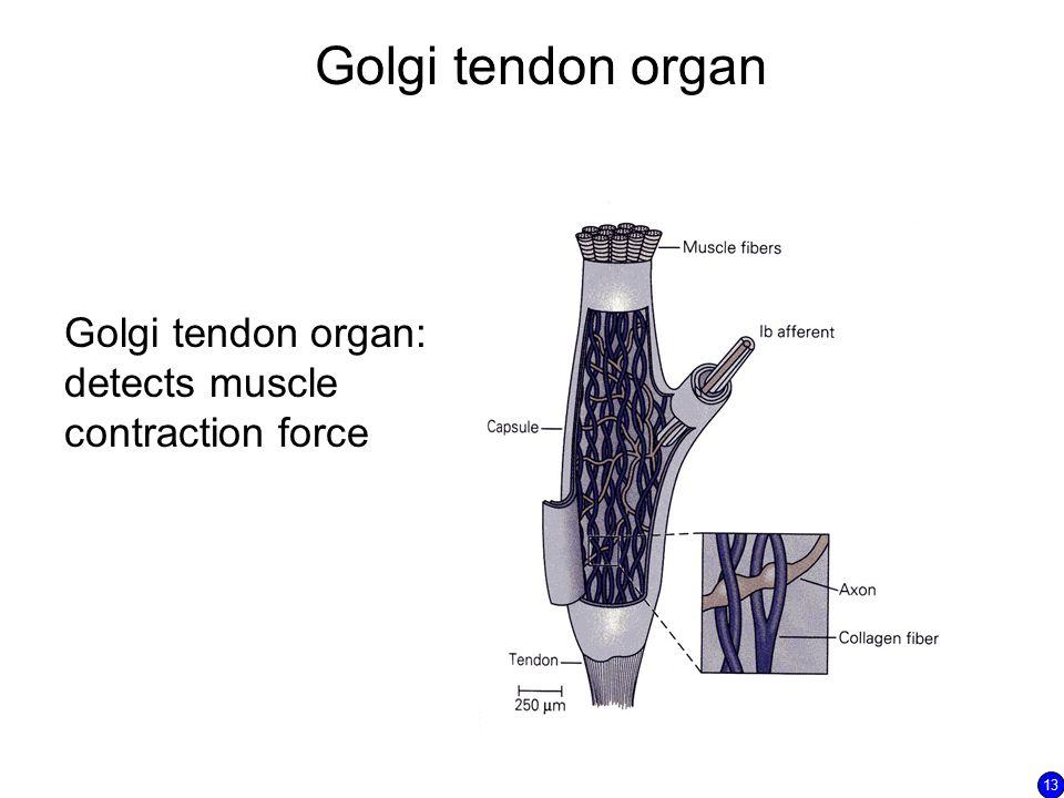 Golgi tendon organ Golgi tendon organ: detects muscle contraction force 13