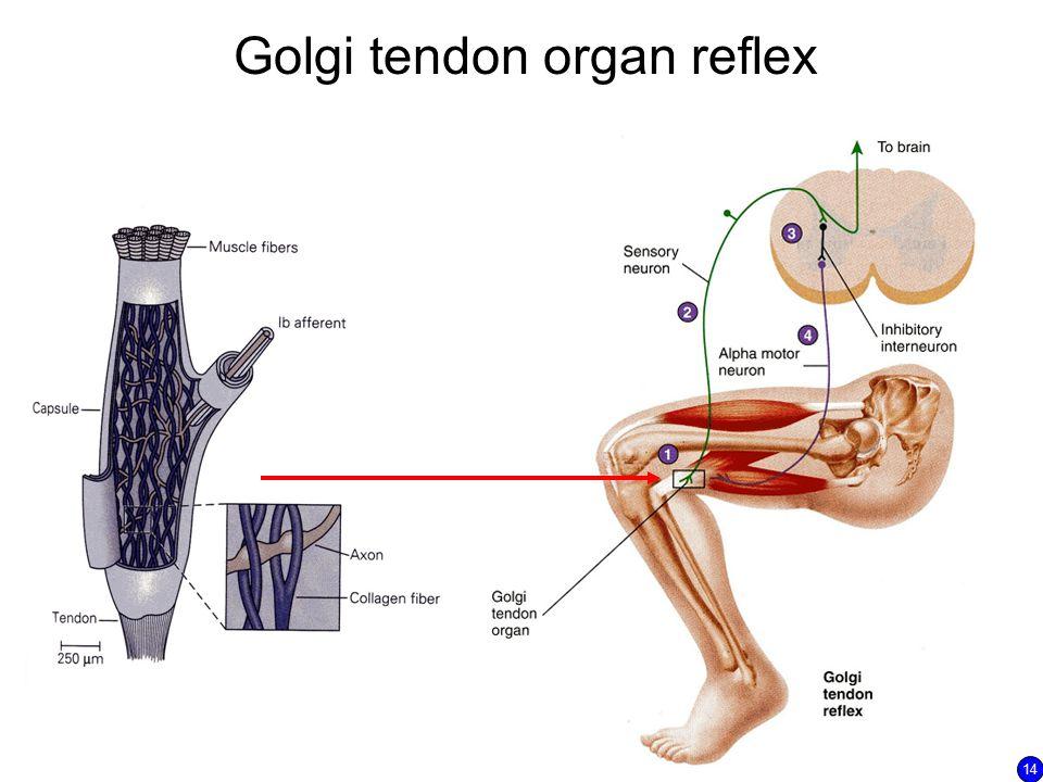 Golgi tendon organ reflex 14