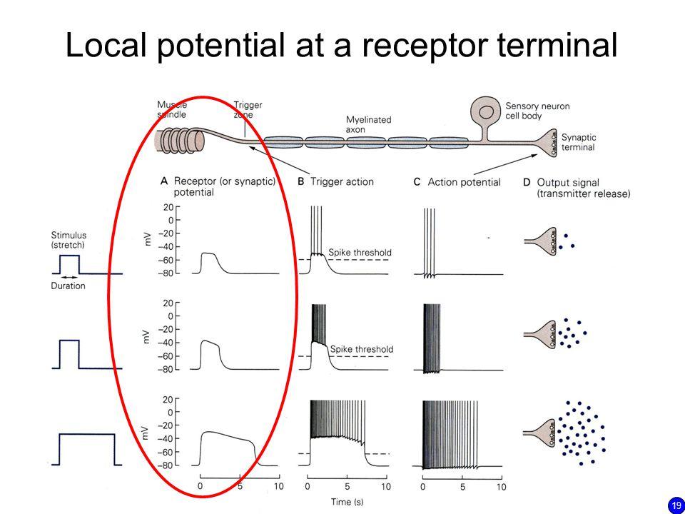 Local potential at a receptor terminal 19