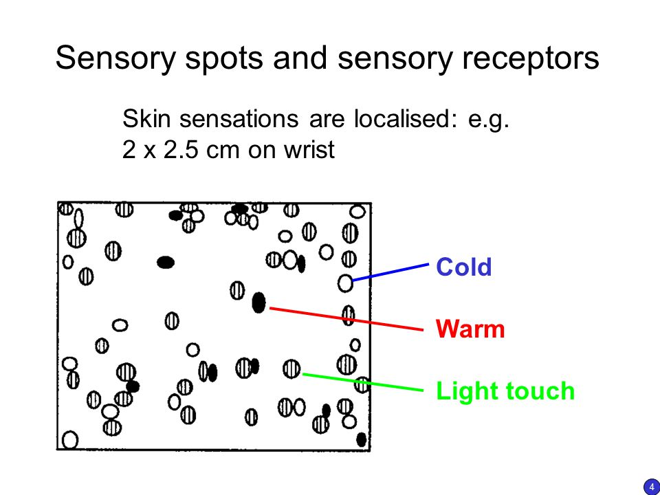 Sensory spots and sensory receptors Skin sensations are localised: e.g. 2 x 2.5 cm on wrist Cold Warm Light touch 4