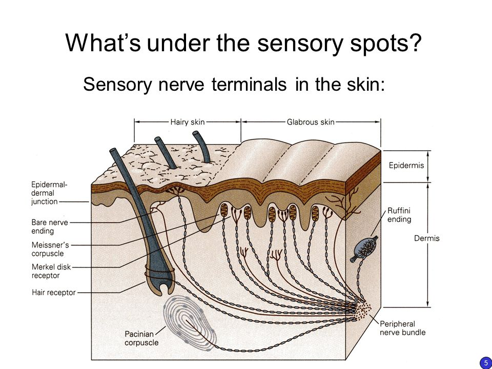 What's under the sensory spots? Sensory nerve terminals in the skin: 5