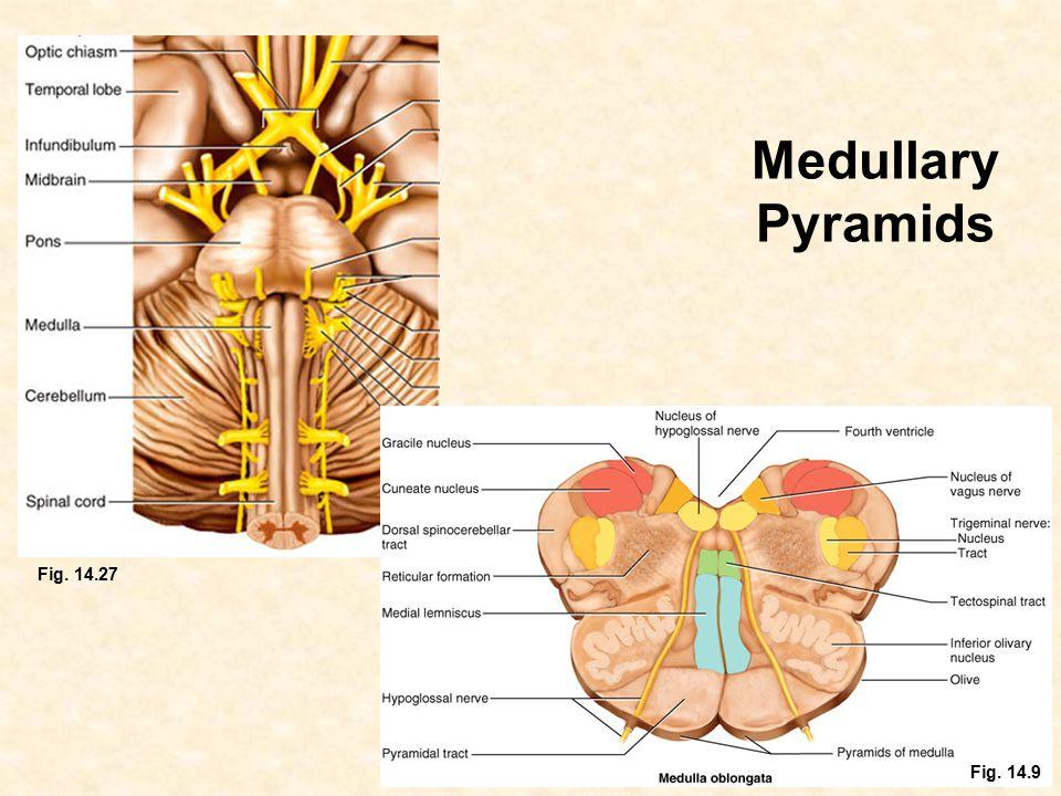 Medullary Pyramids Fig. 14.27 Fig. 14.9