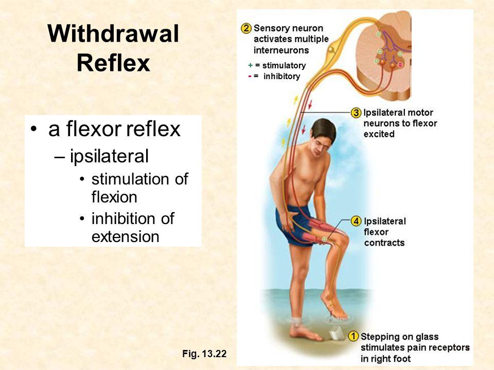 Withdrawal Reflex = stimulatory + = stimulatory = inhibitory - = inhibitory Fig.