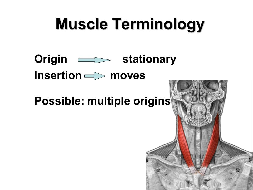 Muscle Terminology Origin stationary Insertionmoves Possible: multiple origins
