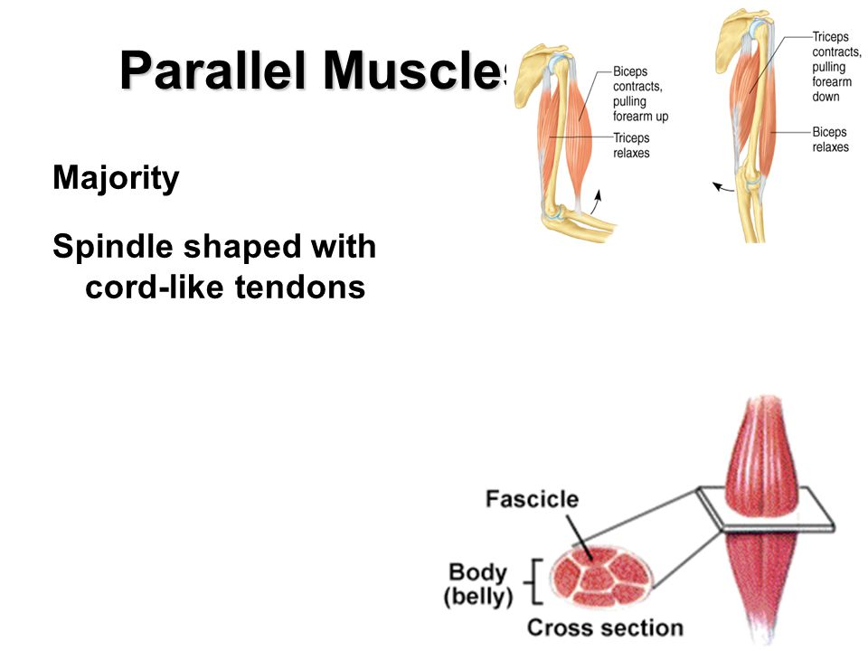 Parallel Muscles Majority Spindle shaped with cord-like tendons