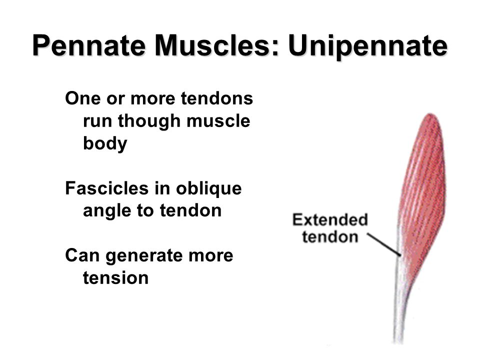 Pennate Muscles: Unipennate One or more tendons run though muscle body Fascicles in oblique angle to tendon Can generate more tension