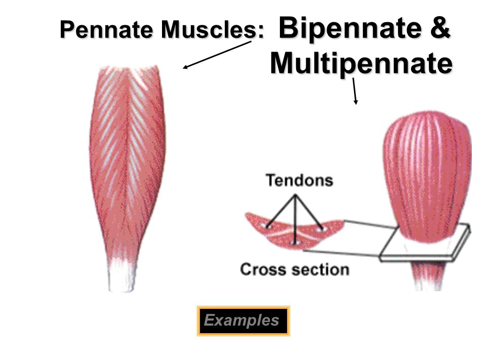 Pennate Muscles: Bipennate & Multipennate Examples