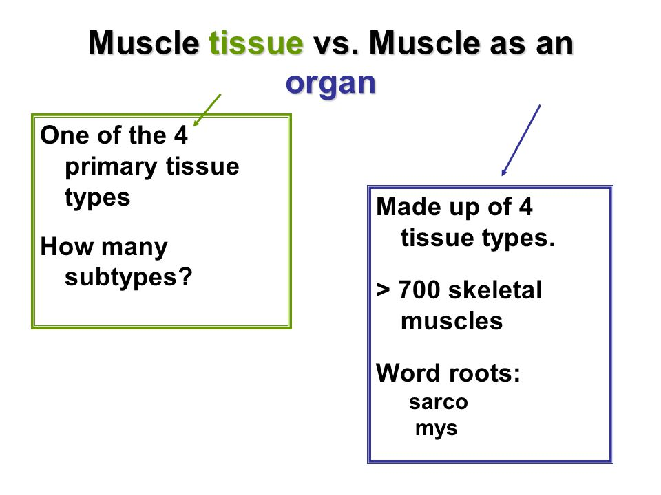 Muscle tissue vs. Muscle as an organ One of the 4 primary tissue types How many subtypes.