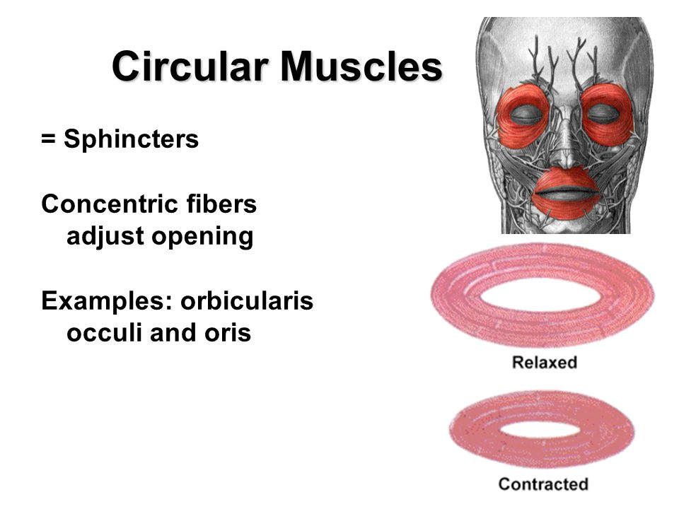 Circular Muscles = Sphincters Concentric fibers adjust opening Examples: orbicularis occuli and oris