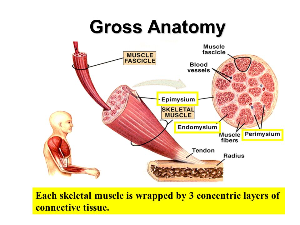 Gross Anatomy Each skeletal muscle is wrapped by 3 concentric layers of connective tissue.
