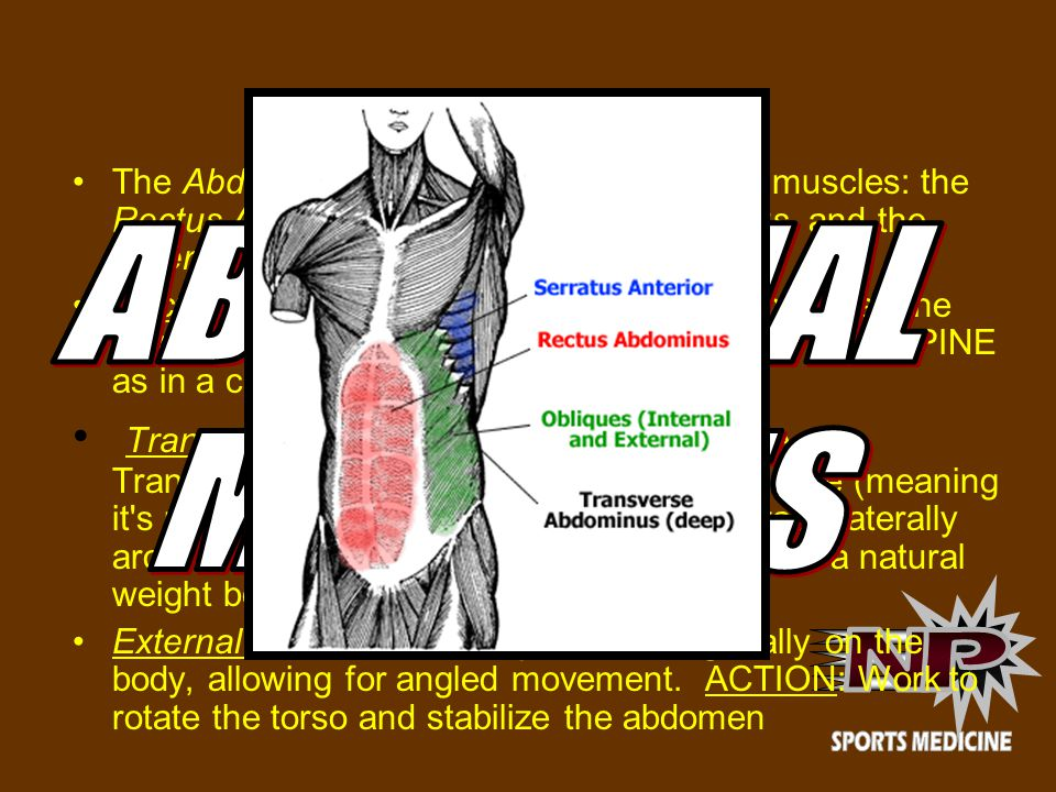 ABDOMINALS The Abdominals are composed of several muscles: the Rectus Abdominus, Transverse Abdominus, and the External and Internal Obliques.