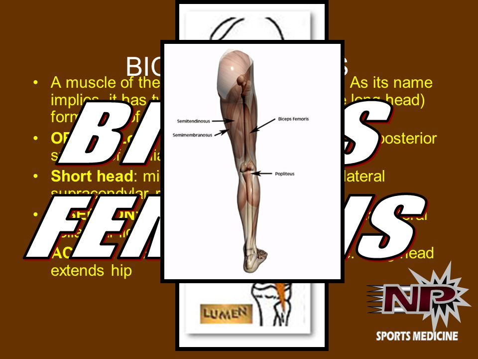BICEPS FEMORIS A muscle of the posterior (the back) thigh.