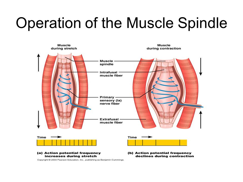 Operation of the Muscle Spindle